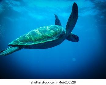 Turtle at Bunaken Island, North Sulawesi - Indonesia