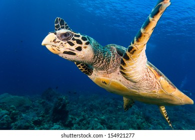 Turtle close up in bali