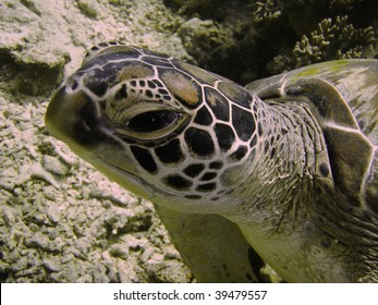 turtle close up, sipadan borneo malaysia