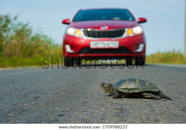 Turtle crawls across the road in front of a moving car