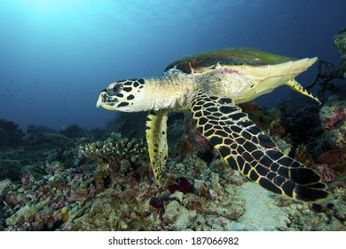 Turtle dive through the coral reef