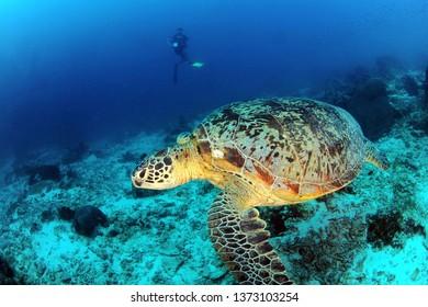 turtle and diver in sipadan