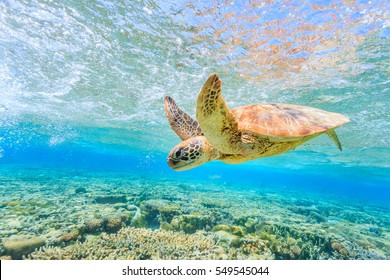 A turtle diving back to the reef in a shallow lagoon on Lady Elliot Island