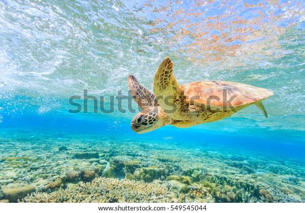 Eine Schildkröte, die in einer flachen Lagune auf der Insel Lady Elliot zum Riff zurücktaucht