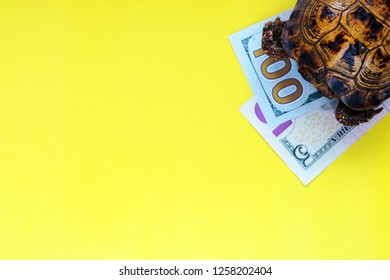 Turtle and dollars on a yellow background. Concept - in the slow progress of financial flows. Fast or long journey. How to make money fast. Business development.