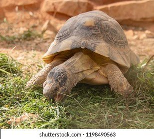 turtle eating grass