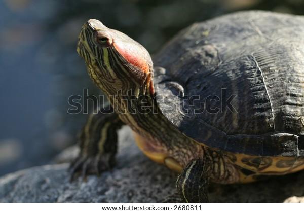 a turtle enjoying the sun