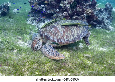 Turtle feeds on sea grass in the shallows.