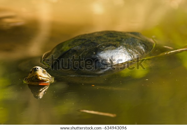 Turtle floating in river looking at camera with reflection on head