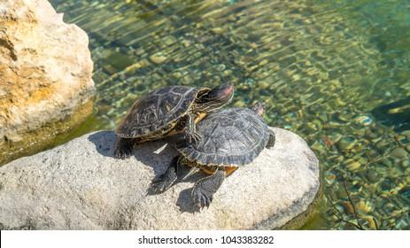 Turtle floating in water