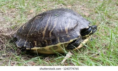 Turtle Florida Wild Life