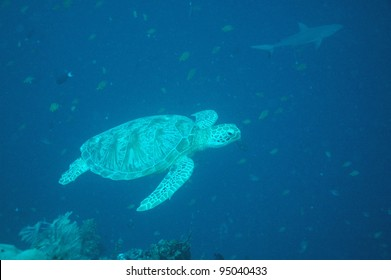 Turtle foreground with shark in background