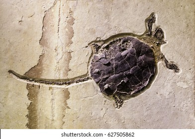 Turtle, fossil, lower Eocene, Wyoming. Most likely fed on fish, crayfish, shrimp, and clams.