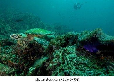 turtle found at coral reef area at Koh Lanta, Thailand.