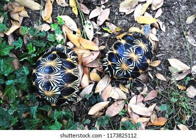 turtle Geochelone elegans Indian starry turtle