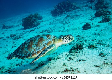 Turtle in Gili Islands. Indonesia