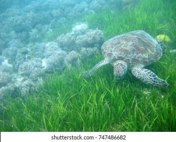 Turtle at Green Island, Great Barrier Reef near Cairns, Queensland, Australia