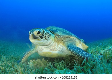 Turtle. (Green Sea Turtle - Chelonia mydas)