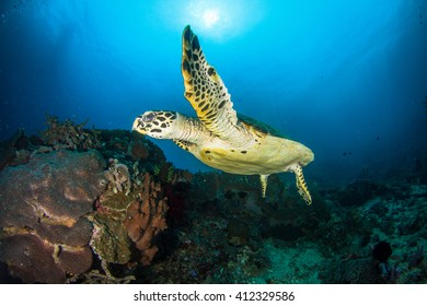 Turtle greeting. Green sea turtle swimming in the blue water close to the coral reef. Indonesia.