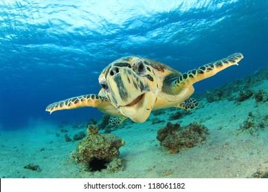 Turtle (Hawksbill Sea Turtle) underwater