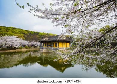 Turtle Head Islet Sakura