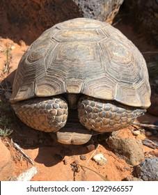 Turtle hiding - desert tortoise, Gopherus agassizii