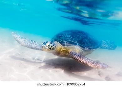 Turtle at Hikkaduwa beach. Sri Lanka