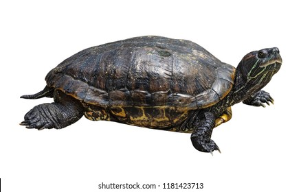 Turtle isolated on white background. Reptile species or tortoise. ( Clipping path )