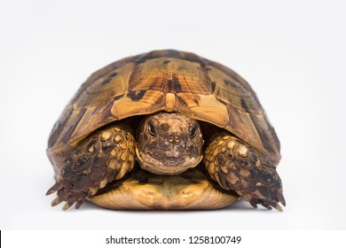 turtle isolated on white background, tortoise isolated gopher