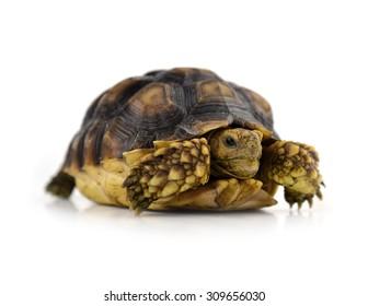 turtle isolated on white background