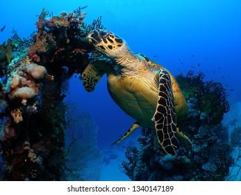 The turtle likes to eat in the coral while it flies. Sipadan island (Malaysia)