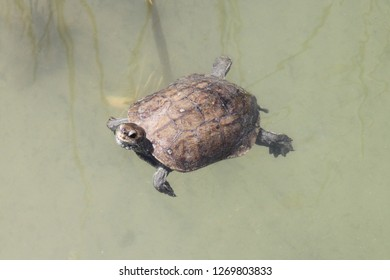 Turtle looks at us as he swims by. He hopes we might throw him some food. Taken near Dalyan in Turkey.