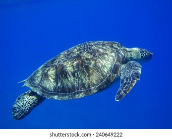 Turtle from Marsa Alam