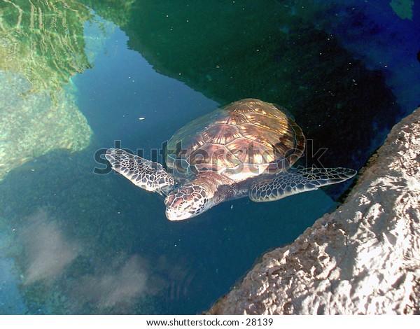 Turtle at Maui Aquarium