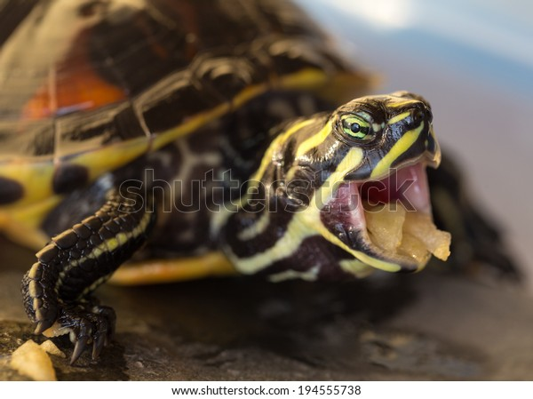 Turtle with mouth open, eating apple, closeup