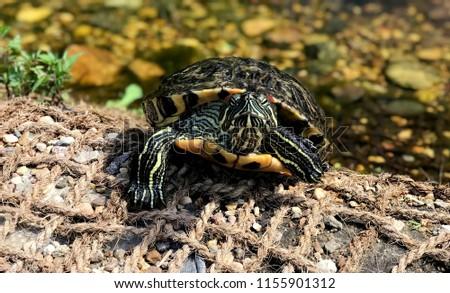 turtle-near-pond-close-450w-1155901312.j