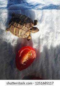 Turtle near tomato, wolking on white background.