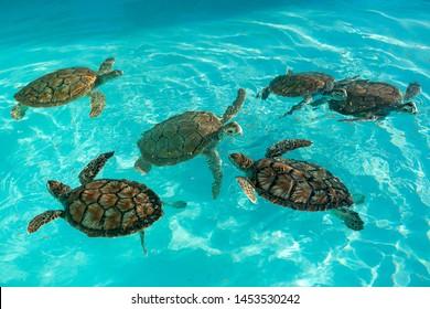 turtle nursery. Breeding sea turtles. Little turtles swim in an artificial pool.