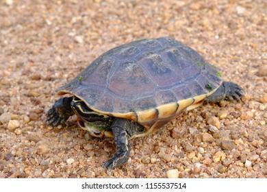 Turtle on Gravel,