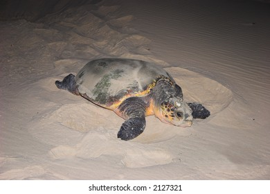 Turtle on her way back to the sea after laying eggs