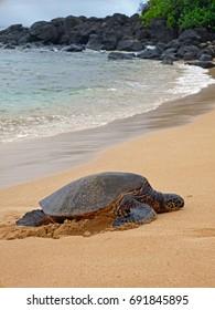 Turtle on Laniakea Beach in Oahu, Hawaii.