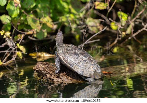 turtle-on-old-dry-tree-600w-1896610153.j