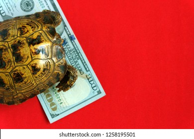 Turtle on a red background. Concept of slow progress of financial flows. Hundred Dollar Bill. Earnings on drains from beginners.