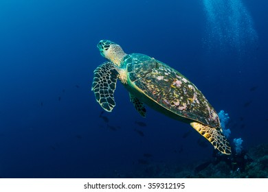 Turtle on the reef of the Red Sea