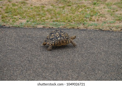 Turtle on road at Kruger National Park in South Africa