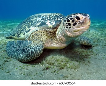 Turtle on the sandy bottom in the blue tropical sea. The green sea turtle in the ocean over the sandy bottom. Blue sea background. Turtle head and neck detail.