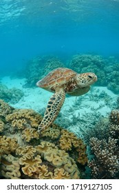 Turtle on surface at Great Barrier Reef
