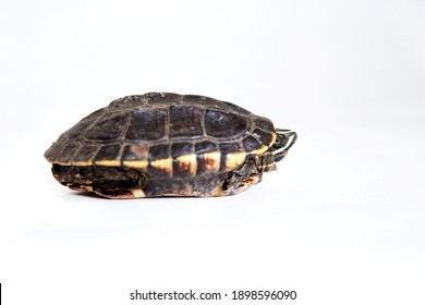 Turtle on a white background(Focus on turtle face)