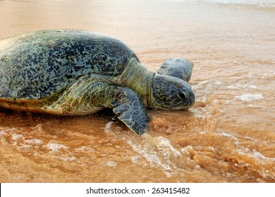 Turtle on the wild beach. Sri Lanka