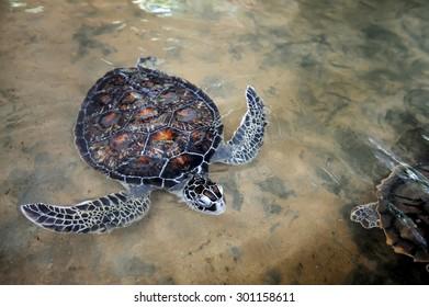 Turtle on the wild beach. Sri Lanka island